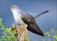 Burung Cukcoo