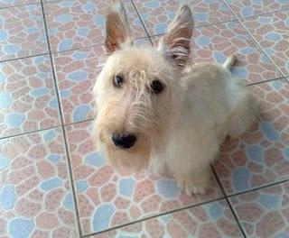 Scottish Terrier Puppy Picture