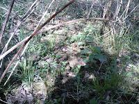 Biotope à Morchella elata avec Rubus sp.
