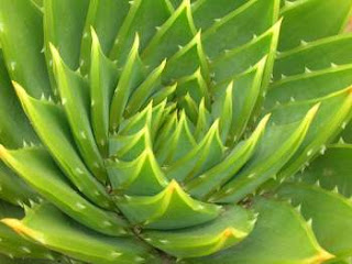 aloe vera for health