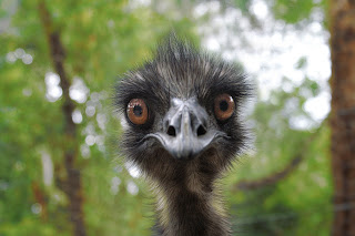 Emu looking at camera