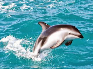 Delfin auf Flosse