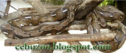 Cebu Zoo Reticulated Python