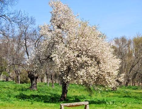 Almendro en primavera