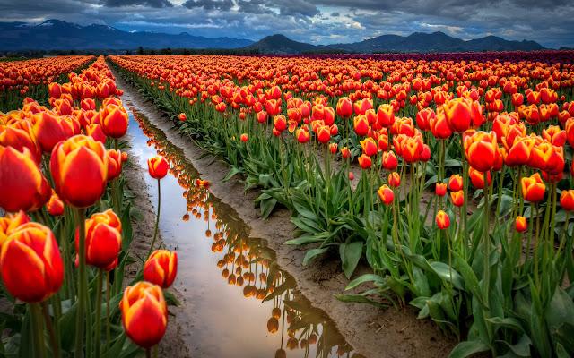 Tulipanes Imagenes de Flores en HD