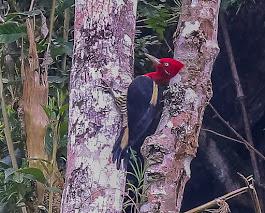 POSTER: Pica-pau Rei, Campephilus robustus, Pico da Bandeira,Dores do Rio Preto,ES, Brasil.