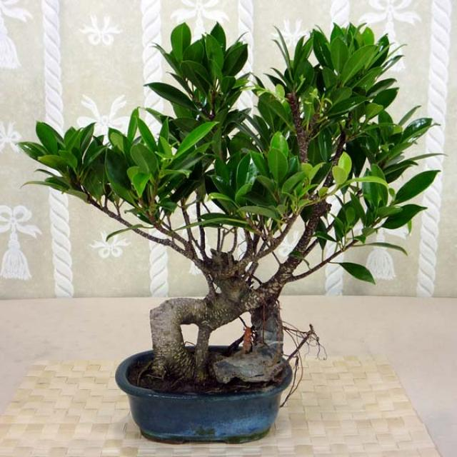 ficus bonsai care the ancient art of bonsai. Black Bedroom Furniture Sets. Home Design Ideas