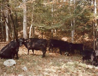 Red Hill Cows in 1970