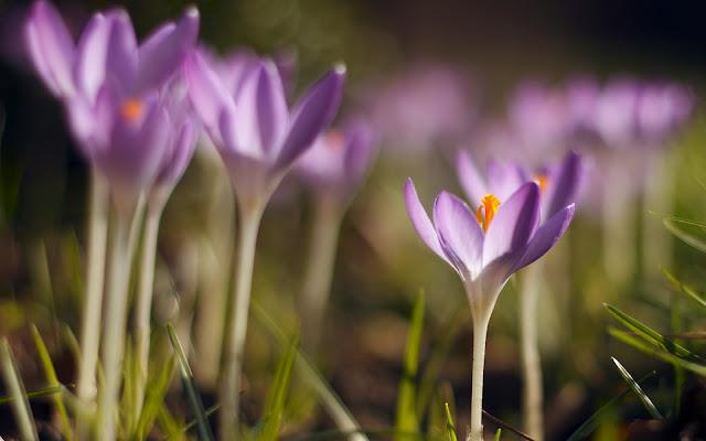 Azafranes Violetas Imagenes de Flores en HD