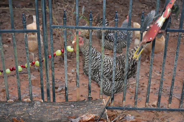 backyard chickens, chicken treats, http://growingdays.blogspot.com
