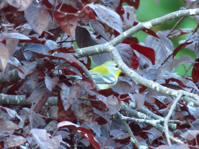 northern parula hides in leaves