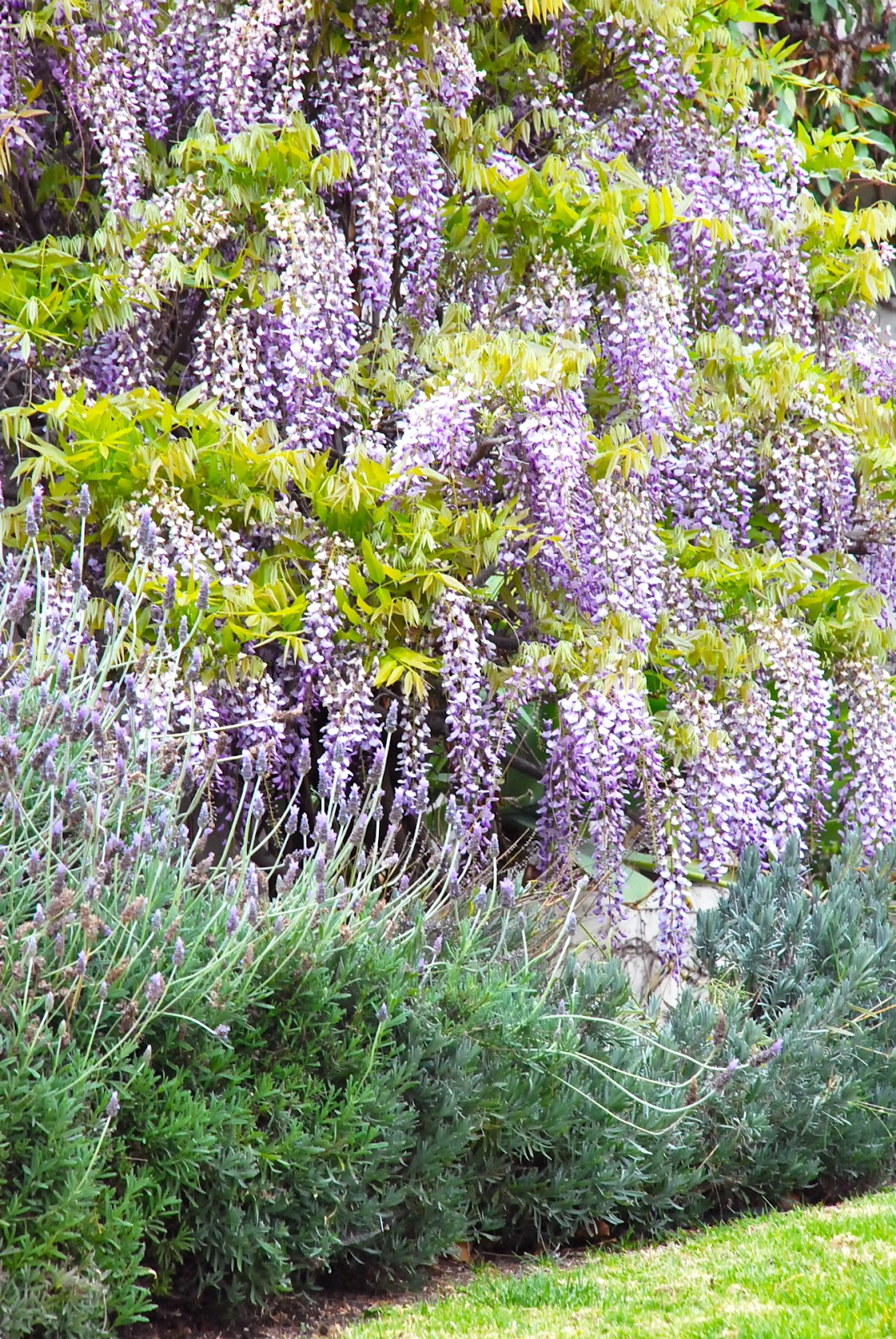 This american home garden wisteria for The wisteria