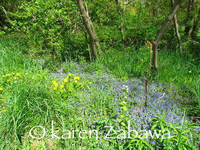 Early blooming tiny blue wildflowers at Brueckner Gardens line the Waterfront Trail along Tecumseh Creek.