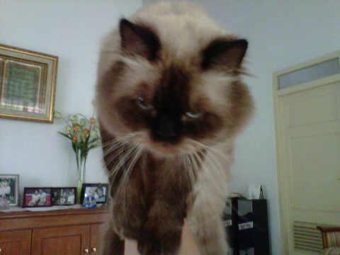 Gambar Kucing Persia Himalaya marah