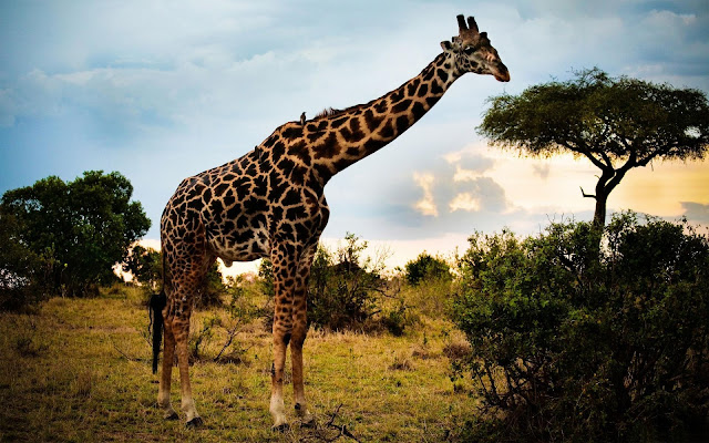 Giraffe Feeding Tree