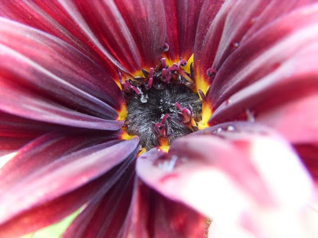sunflower black magic