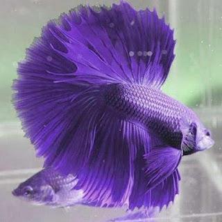 Bermacam Jenis Ikan Cupang