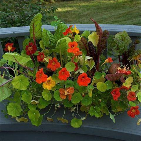 мангольд, огород, декоративное растение, дизайн, украшение огорода, в контейнерах, кашпо, цветочных горшках