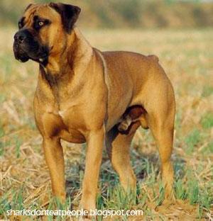 boerbul dog photo