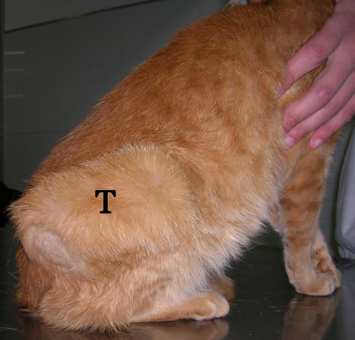 Sarcoma felino post-inoculación | Servicio de Anatomía Patológica ...