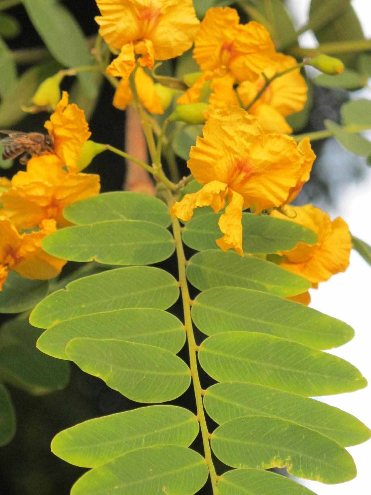 The Flowering plants  Leguminosae  Fabaceae Fabaceae  Tipuana tipu