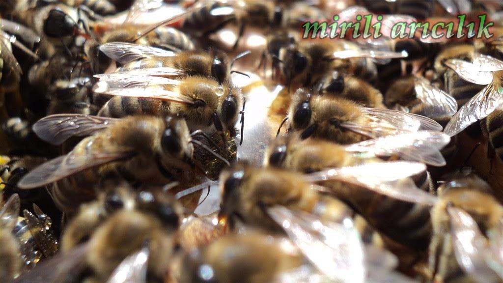 Kışın kovan kontrolü nasıl yapılmalı, karniyol ana arı satışı, kiraz aşılarım ve aşı zamanı hakkında genel bilgi