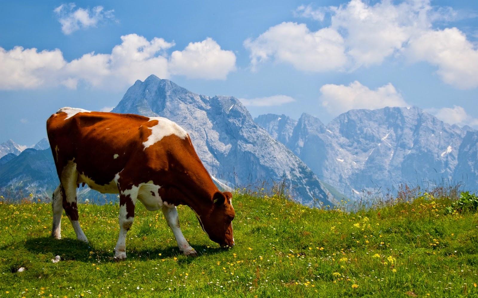 HD wallpaper met grazende koe in Alpen weiden
