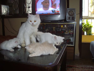 "Traditional Persian cat ""matahari"" with her kittens.(Wednesday 6-5-2009)."
