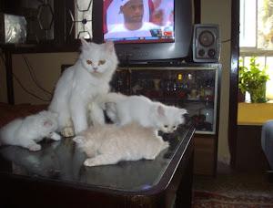 """Traditional Persian cat """"matahari"""" with her kittens.(Wednesday 6-5-2009)."""