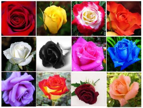 Colores de rosas que existen imagui - Significado de los colores de las rosas ...