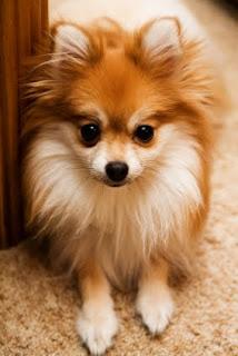 Pomerania cachorro foto