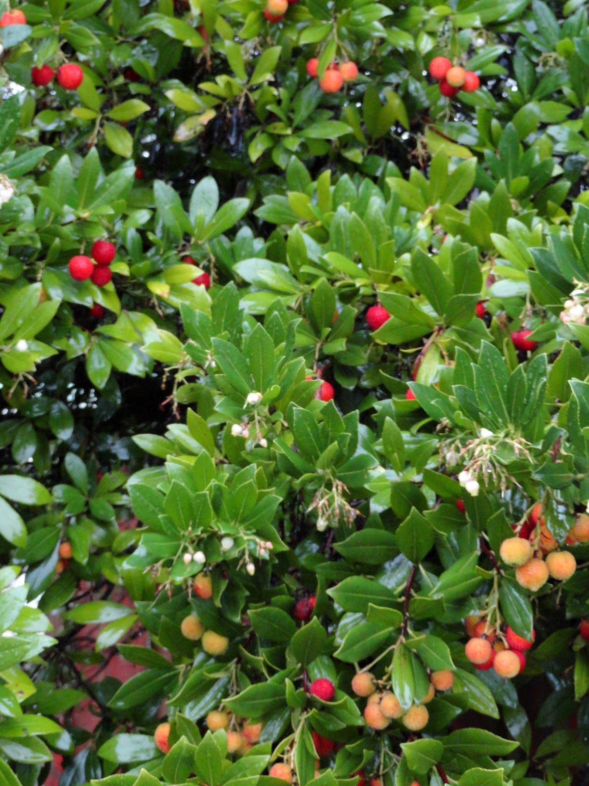 Danger Garden Arbutus Unedo And A Sea Of Red Marbles