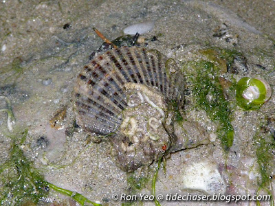 Singapore Scallop (Volachlamys singaporina)