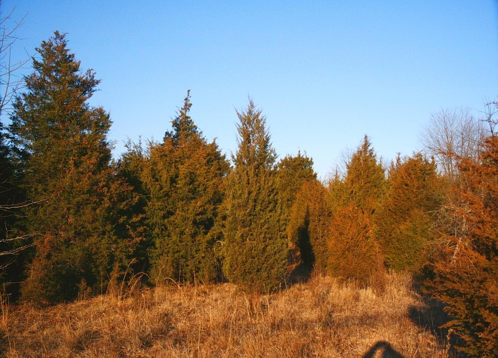 Eastern Red Cedar ~ Pinelands nursery juniperus virginiana eastern red cedar