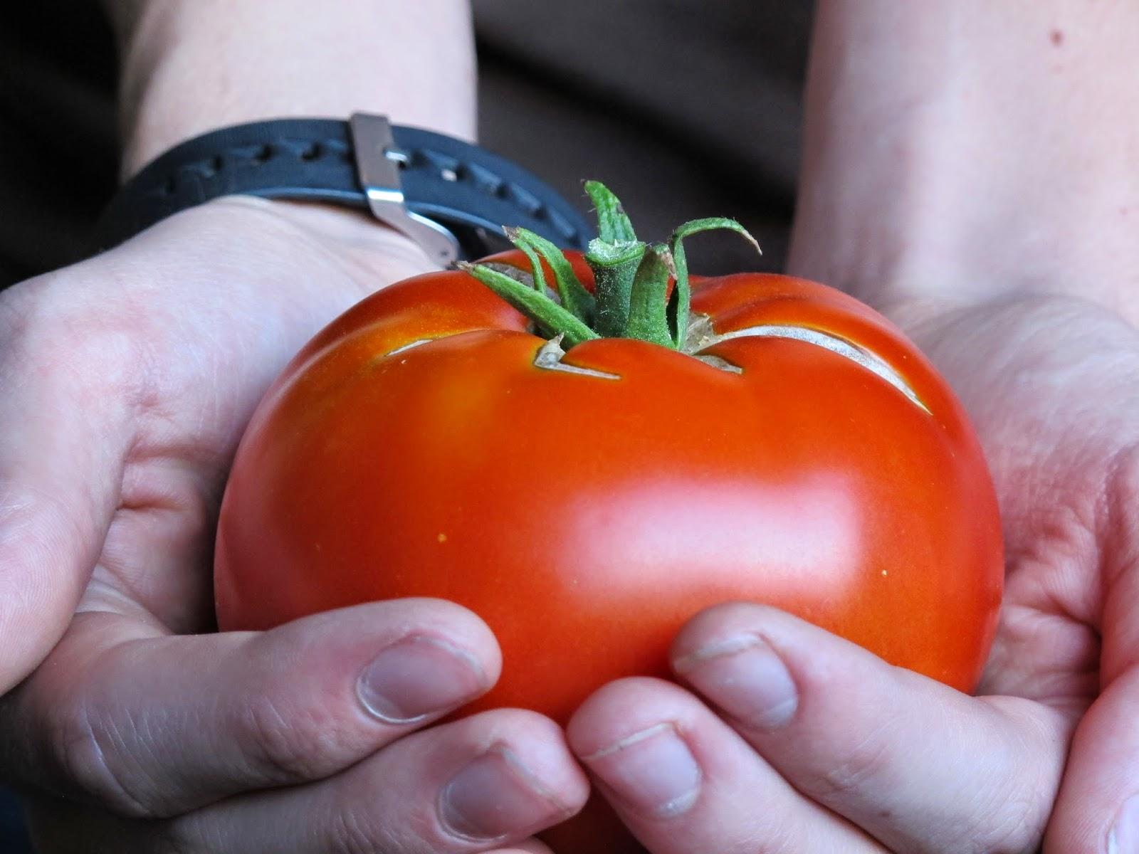 Large Tomato Harvest