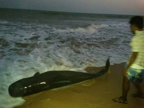 Fishermen are battling to save 100 beached whales at Tiruchendur, a coastal town in Tamil Nadu, 600 km from Chennai.  The animals initially thought to be dolphins, were later correctly identified as short-finned pilot whales.  The stranded whales were first spotted on Monday late afternoon by fishermen. As many as 100 of them were found on a 16 km stretch of the beach.