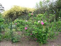 Roses at Prado Rosedal Montevideo Uruguay