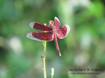 Red Grasshawk Dragonfly - Neurothemis fluctuans
