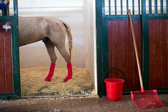"""Một """"cô"""" ngựa vừa được phẫu thuật chân thành công."""