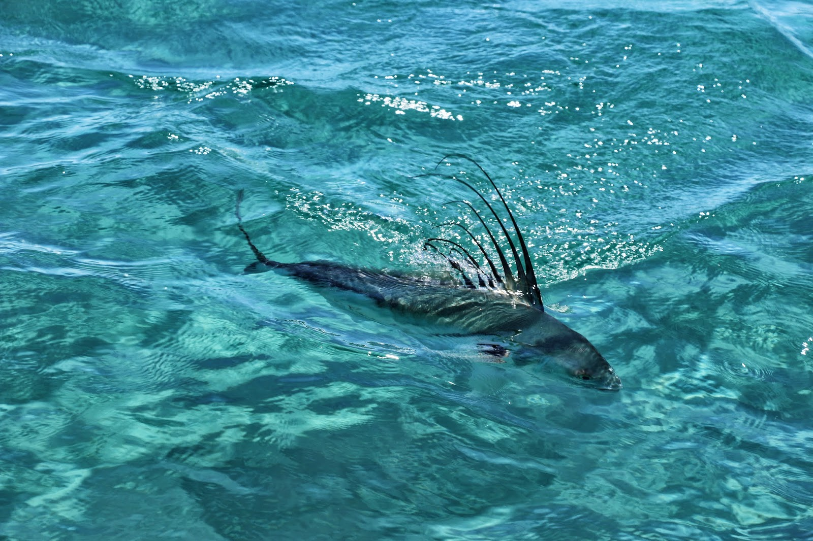 Boston fly fishing and report rooster fish baja for Rooster fish pictures