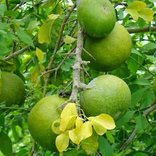 Wood Apple, Bael Fruit