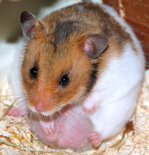 Macam mana nak tahu hamster kita sedang pregnant (mengandung) ek?