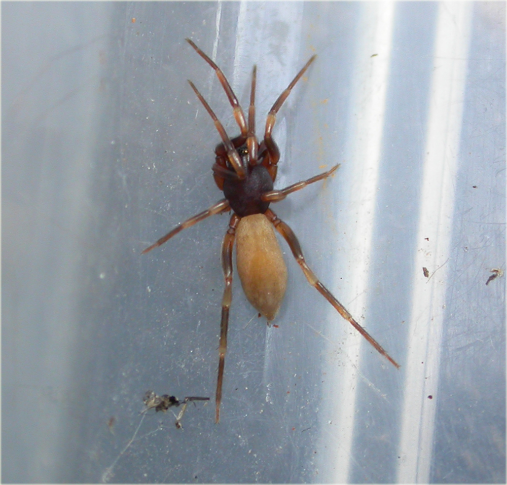 Arachnerds stripe legged spiders harpactea sp for Extra mural cemetery brighton