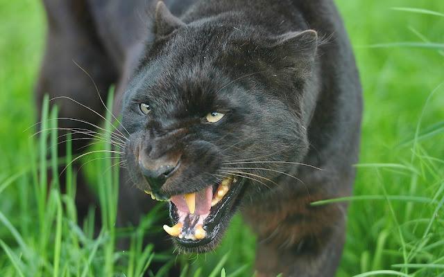 Pantera Negra - Imágenes de Animales