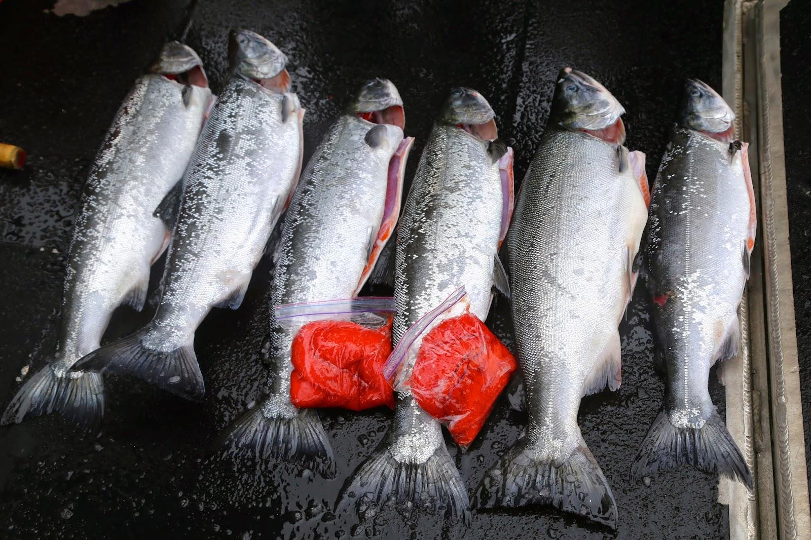 caught salmon with roe, sitka, alaska