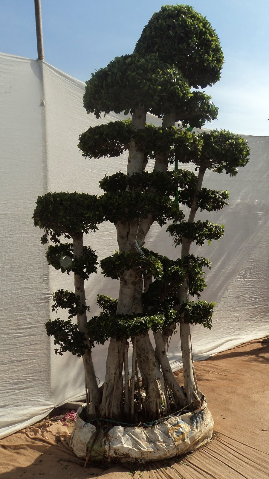 Bonsai Tree Plant Bonsai Plants Care Bonsaitree Growing