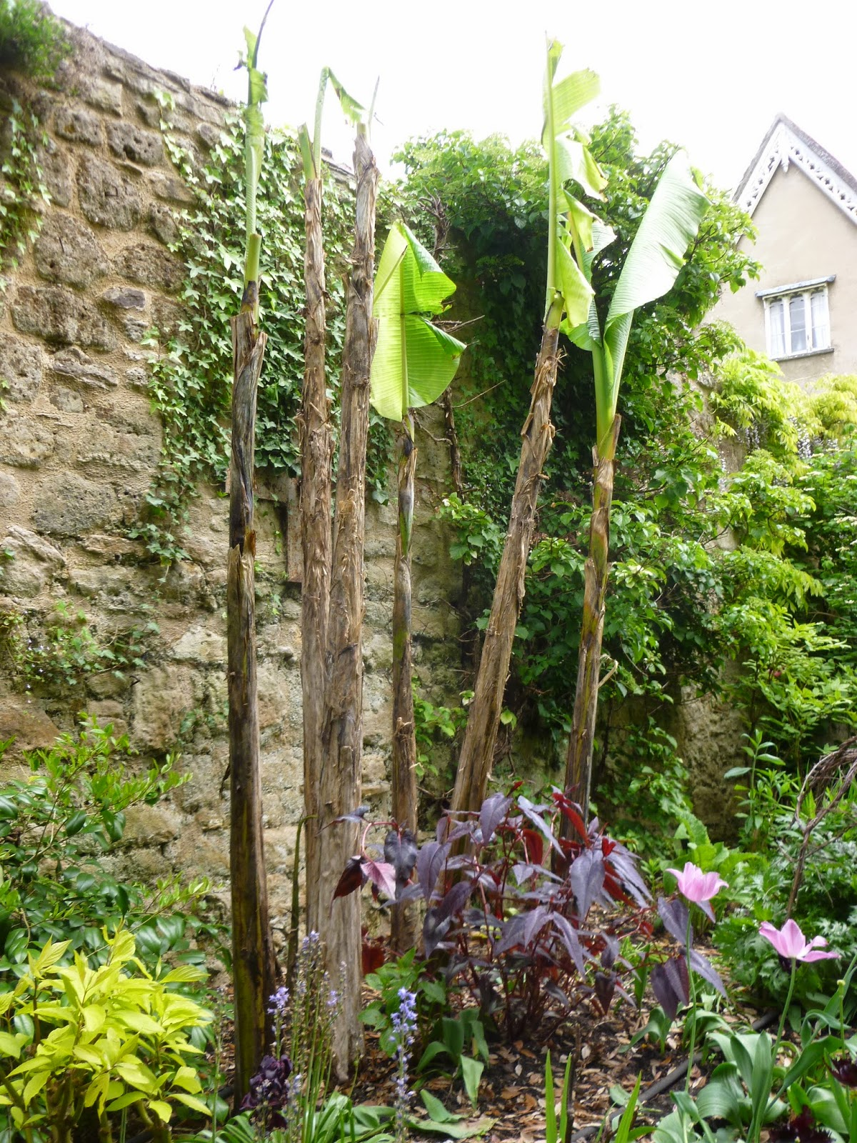 worcester college gardeners removing the fleece from the banana plants. Black Bedroom Furniture Sets. Home Design Ideas