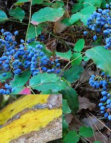 Oregon Grape Root Plant for Aquarium Fish Medication