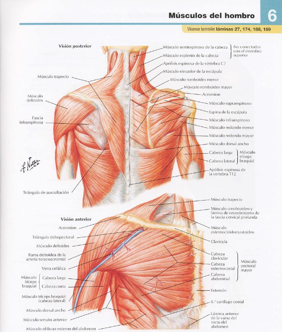 Musculos hombros – Dietas de nutricion y alimentos