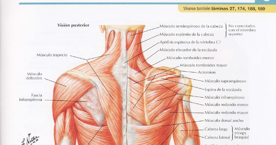 Temas de las clases: Fotos de músculos del hombro